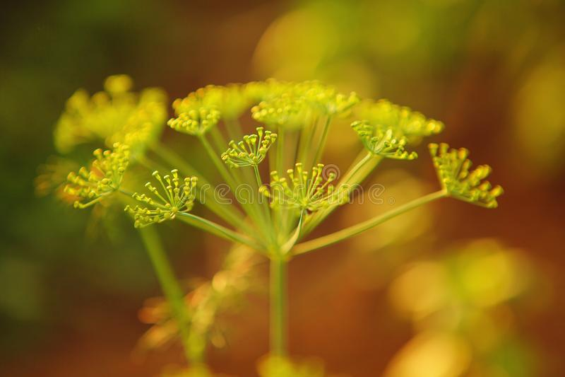 Macro photo des graines cultivant l'aneth en serre chaude photos libres de droits