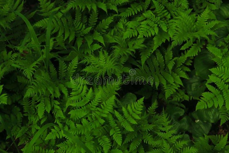 Macro photo des pétales verts de fougère Fougère sur le fond des plantes vertes photo libre de droits
