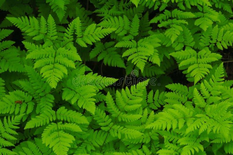 Macro photo des pétales verts de fougère Fougère sur le fond des plantes vertes photo stock