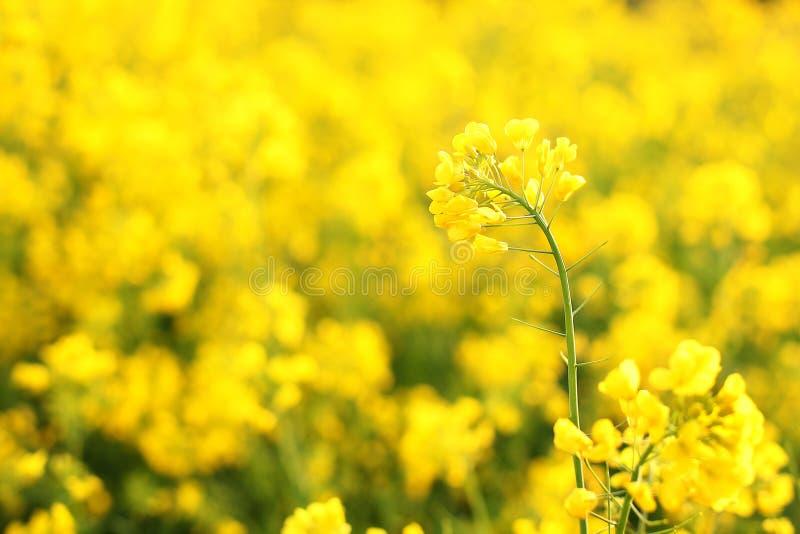 Macro photo des wildflowers Fleurs jaunes lumineuses dans la fin de matin  Fond floral d'été naturel Bel écoulement jaune images libres de droits