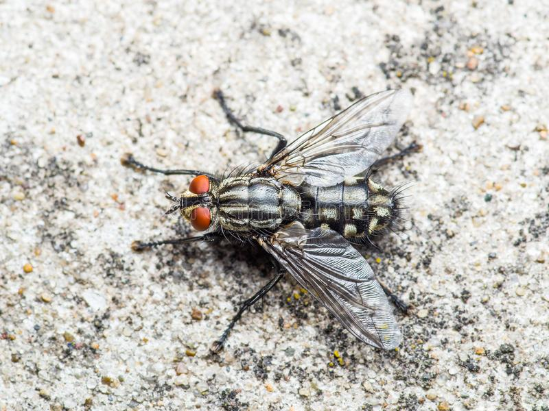 Diptera Meat Fly Insect On Rock. Macro Photo of Diptera Meat Fly Insect On Rock stock photo