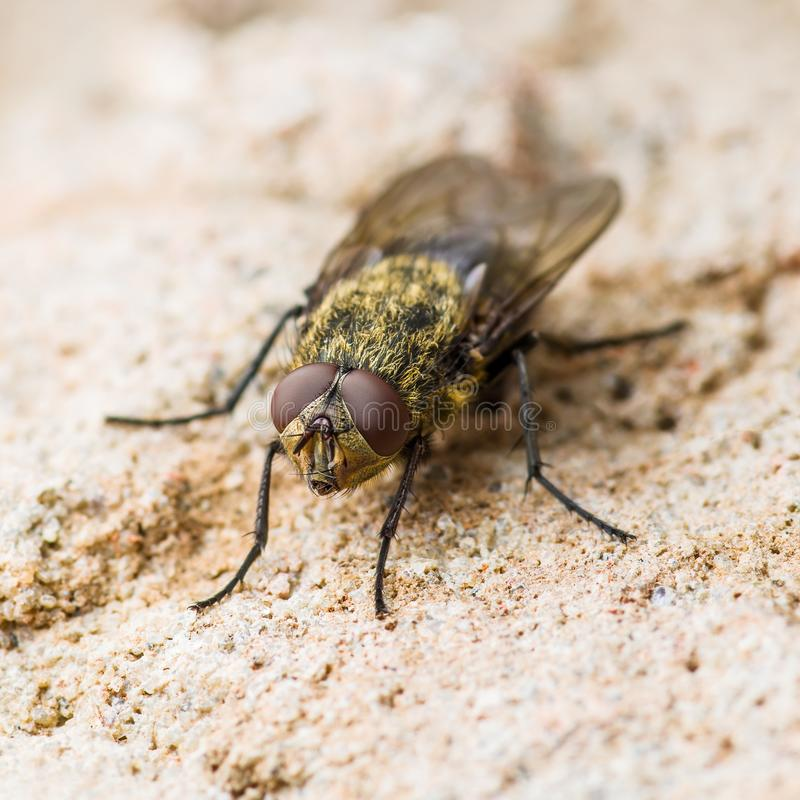 Diptera Meat Fly Insect On Rock. Macro Photo of Diptera Meat Fly Insect On Rock Surface royalty free stock photography