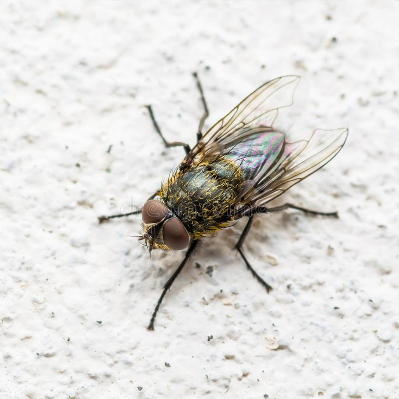 Diptera Meat Fly Insect On Wall. Macro Photo of Diptera Meat Fly Insect On Wall stock photo