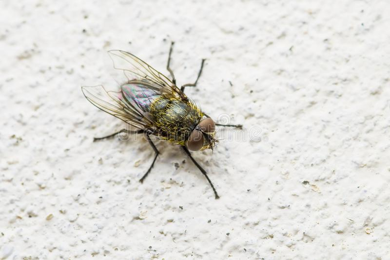 Diptera Meat Fly Insect On Wall. Macro Photo of Diptera Meat Fly Insect On Wall stock photos