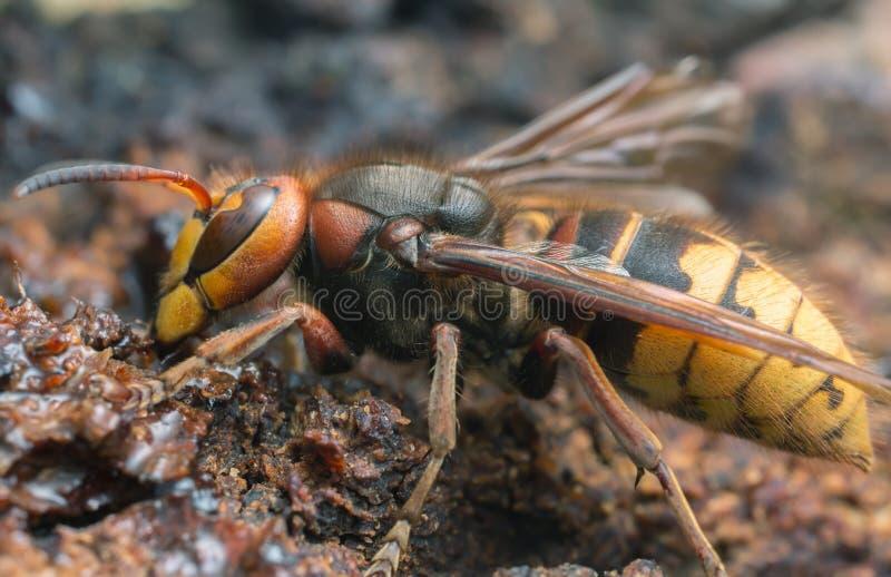 Macro photo of an european hornet, Vespa crabro feeding on sap on oak royalty free stock photo