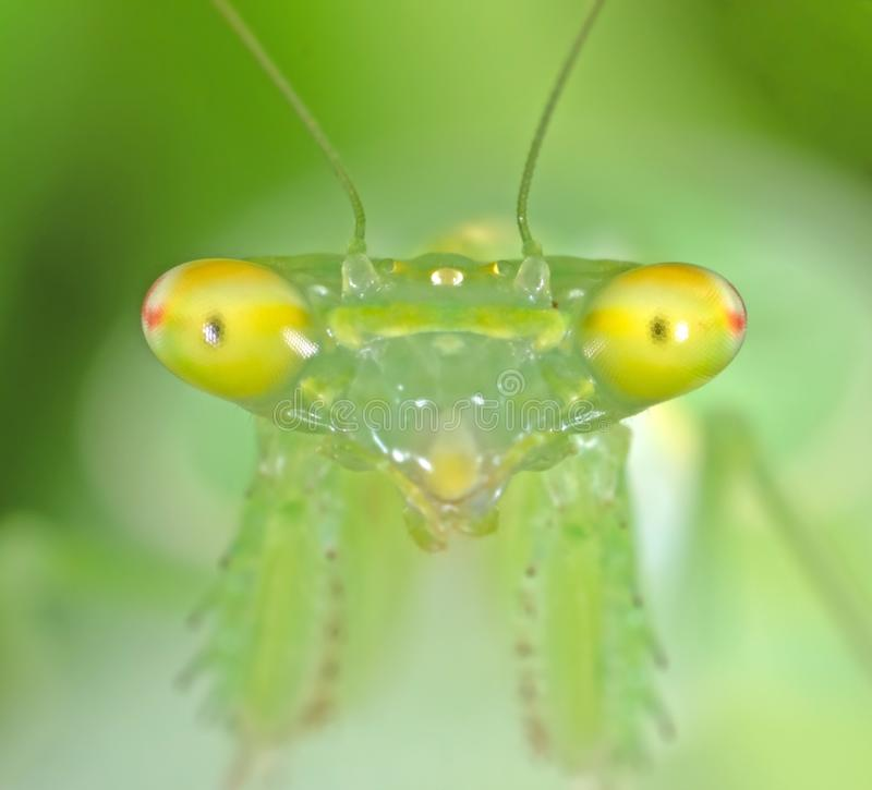 Macro Photo of Eyes of Praying Mantis Isolated on Nature Background royalty free stock photo