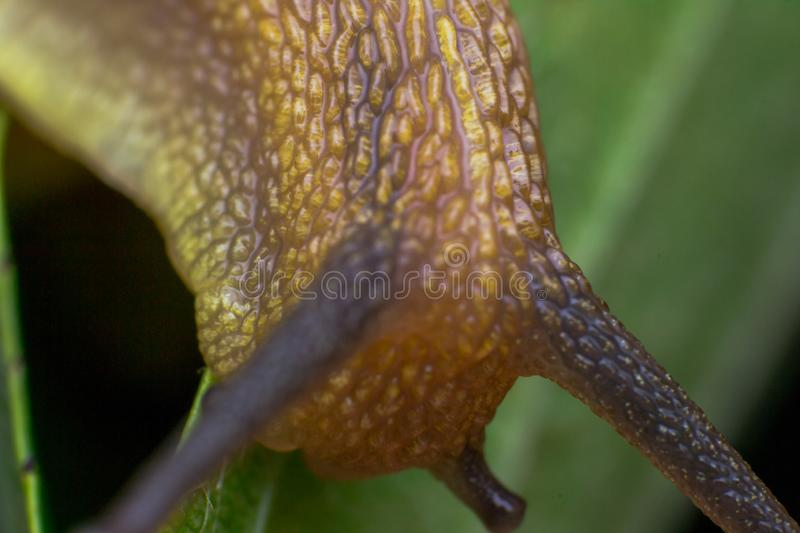 Macro photo of a garden snail in the  summer season. Macro photo of a garden snail in summer season stock images