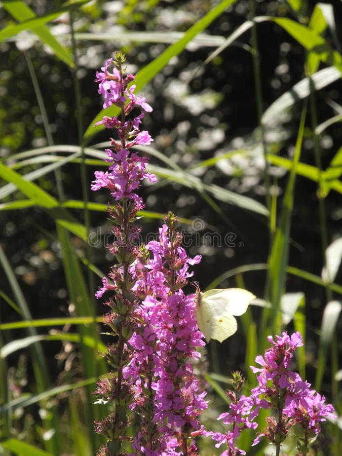 Macro photo of Gonepteryx rhamni or common brimstone butterfly on wildflowers in the meadow. Fresh summer pink, violet flowers and vivid green sunny grass in royalty free stock images