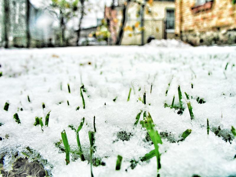 Grass under the first snow of the season stock images