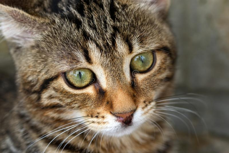 Macro photo of a striped cat. Macro photo of a green-eyed striped cat looking past the camera lens into the distance royalty free stock photo