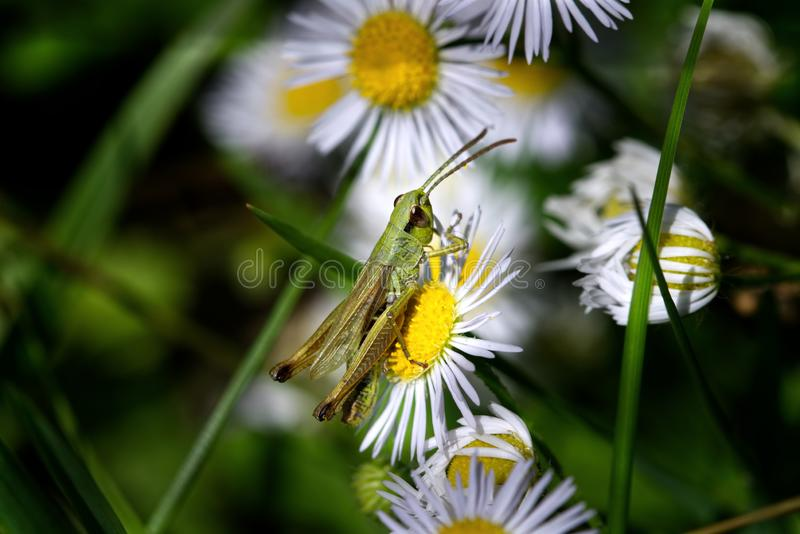 Green grasshopper on a yellow flower. Macro photo of a green grasshopper on a white and yellow daisy stock photo