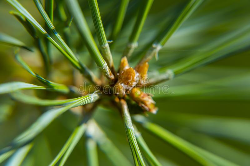 Macro photo of a green pine tree stock photo