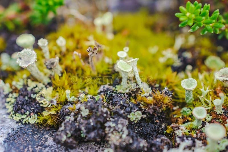 Macro photo of green round northern lichen stock photo