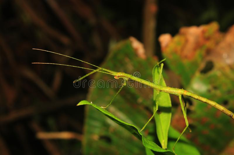 Macro photo of a green stick insects standing on a leaf stock images