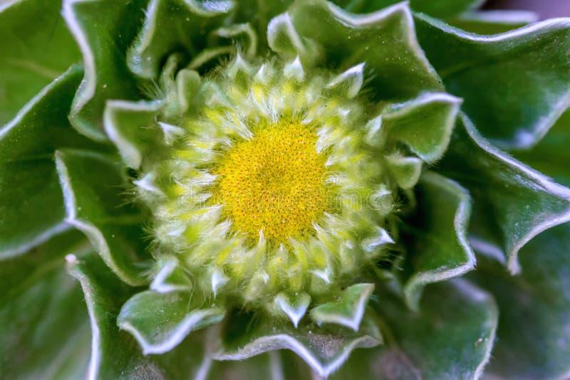 Macro photo of hairy cactus flower royalty free stock photography
