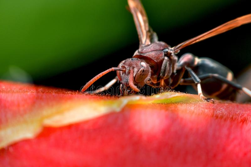 Macro photo of head Hornet royalty free stock images