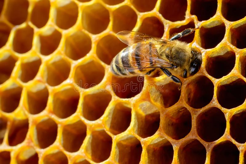 Macro photo of honey bee on honeycomb. stock photos