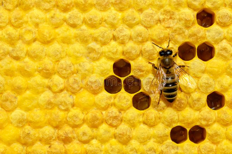 Macro photo of honey bee on a honeycomb with bee larvae. Reproduction of bees. Bees Broods. stock image