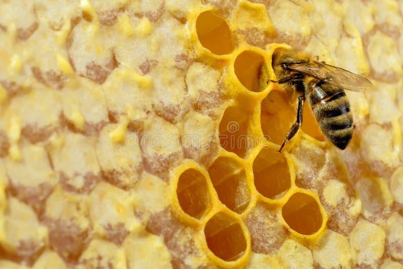 Macro photo of honey bee on honeycomb. Bee turns nectar into fresh and healthy honey. Concept of beekeeping. stock image