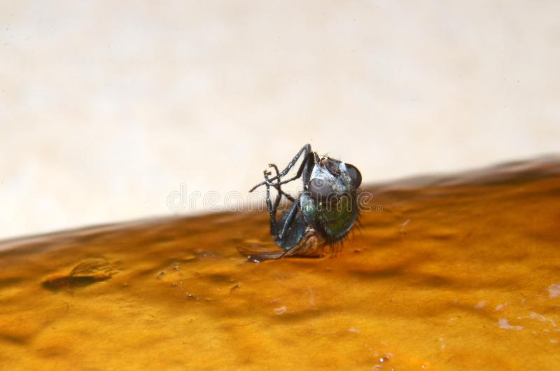 Macro photo of house fly caught on a glue trap royalty free stock photography