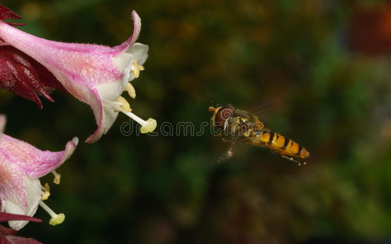 A macro photo of a Hoverfly hovering near a beautiful white and pink flower. A macro photo of a small Hoverfly hovering near a beautiful white and pink flower stock image