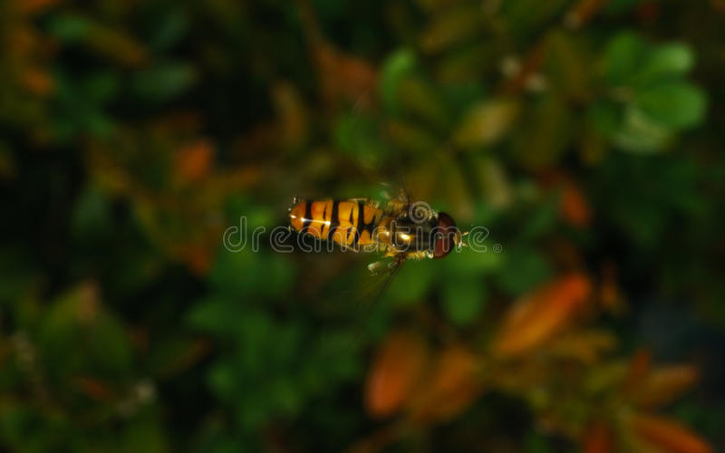 A macro photo of a Hoverfly hovering. A macro photo of a small Hoverfly hovering royalty free stock photos