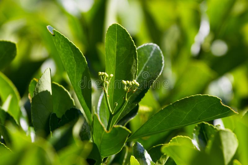 Macro photo leaves of Eounimus japonicus. Japanese spindle, evergreen stock photos
