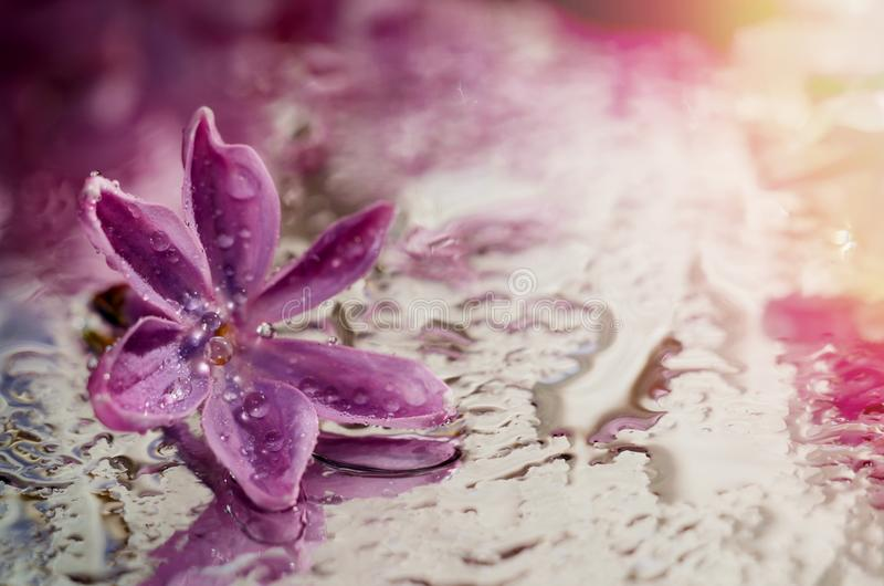 Macro photo of lilac flower under dew drops. Beautiful floral background royalty free stock photography