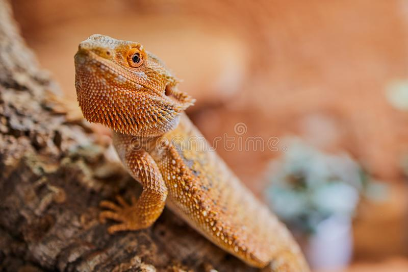Macro photo of a male bearded dragon with copy space, focus on the eye royalty free stock photos