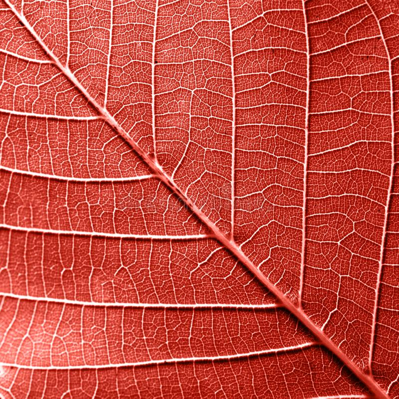 Macro photo of natural pattern of leaf with veins. Creative background for your ideas in a color of the year 2019 Living stock photo