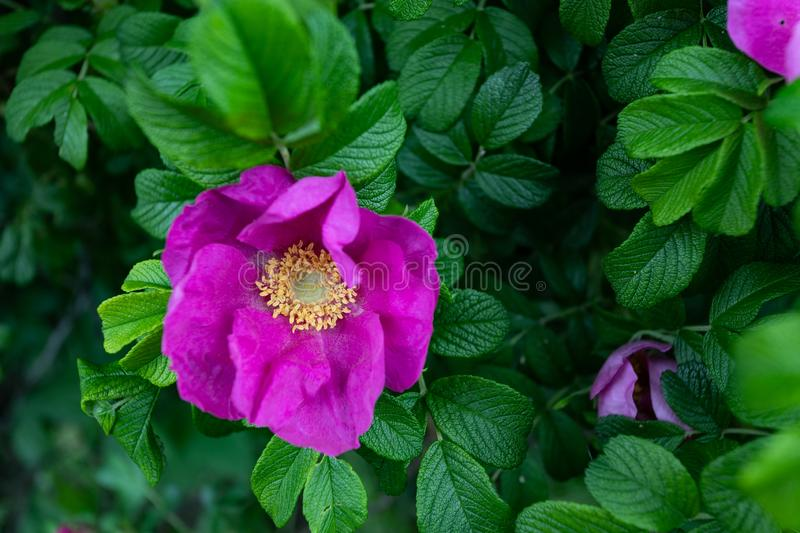 Macro photo nature blooming dogrose. Background texture of pink rosehip buds flowers. An image of a flowering shrub plant dog rose stock image