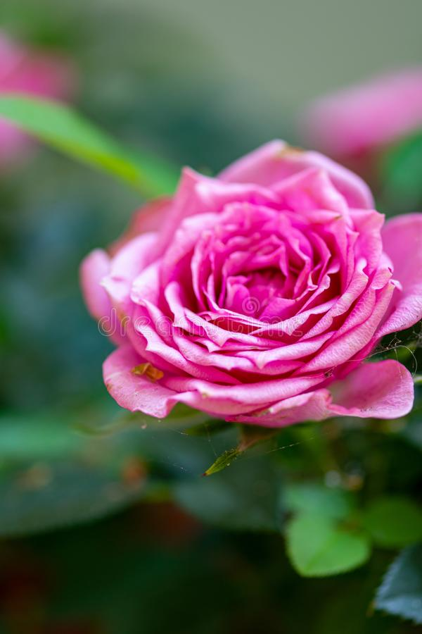 Macro photo nature blooming flower pink rose. Background plant rose with pink and open bud stock photography