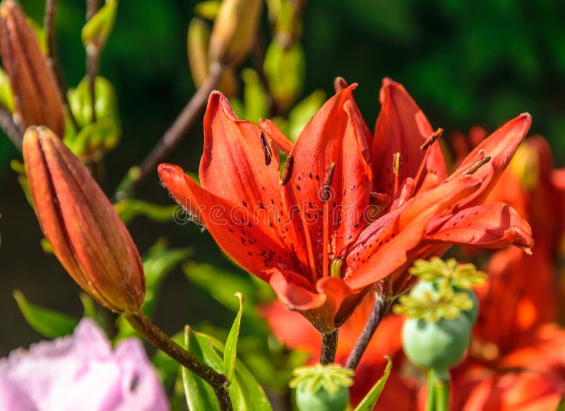 Macro photo nature blooming red flower Lilium bulbiferum.  stock photos