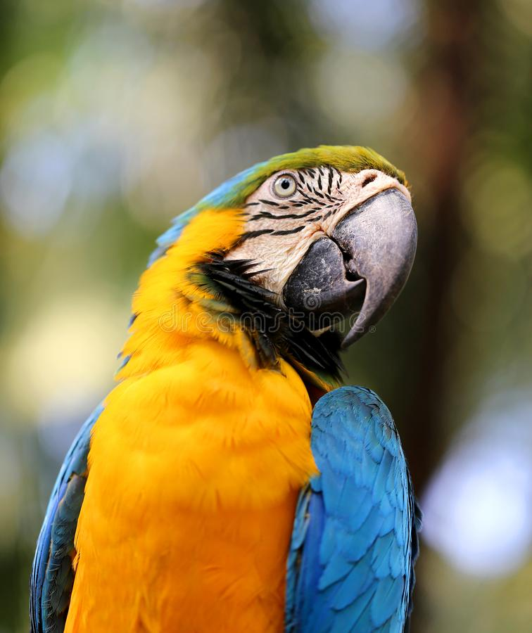 Macro photo of nature blue macaw parrots. Lit by the sun royalty free stock photo
