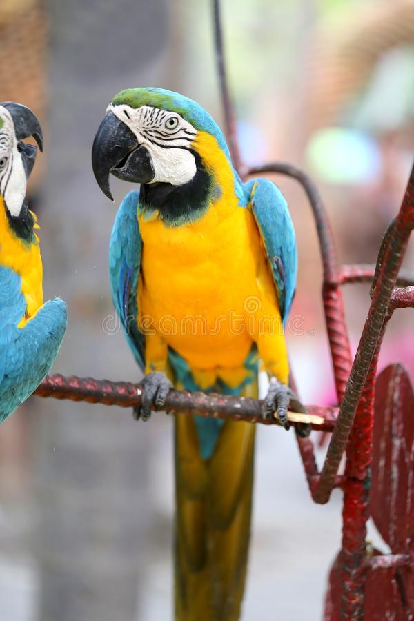 Macro photo of nature blue macaw parrots. Lit by the sun royalty free stock photography
