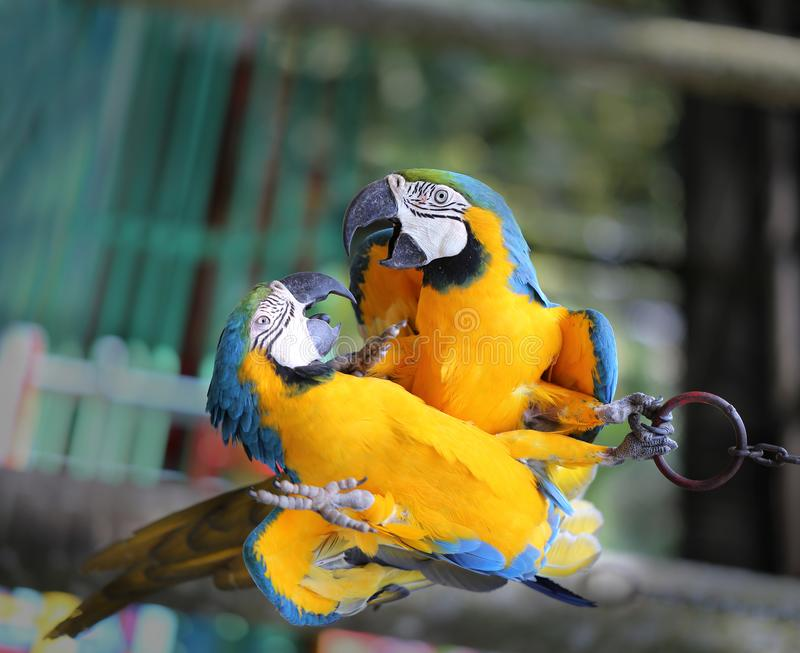Macro photo of nature blue macaw parrots. Lit by the sun royalty free stock image