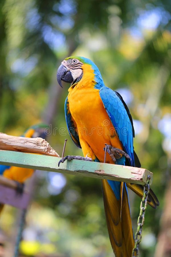 Macro photo of nature blue macaw parrots. Lit by the sun stock images