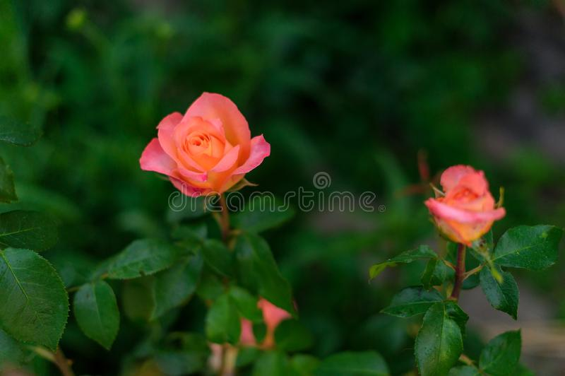 Macro photo nature plant flower rose. Background texture blooming flower pink coral rose stock photography
