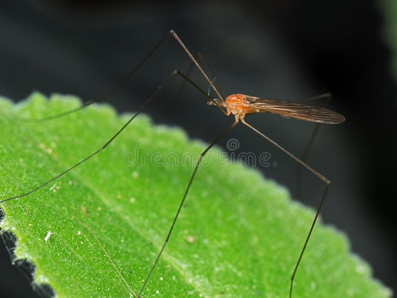 Macro Photo of Orange Crane Fly on Green Leaf Isolated on Nature stock image