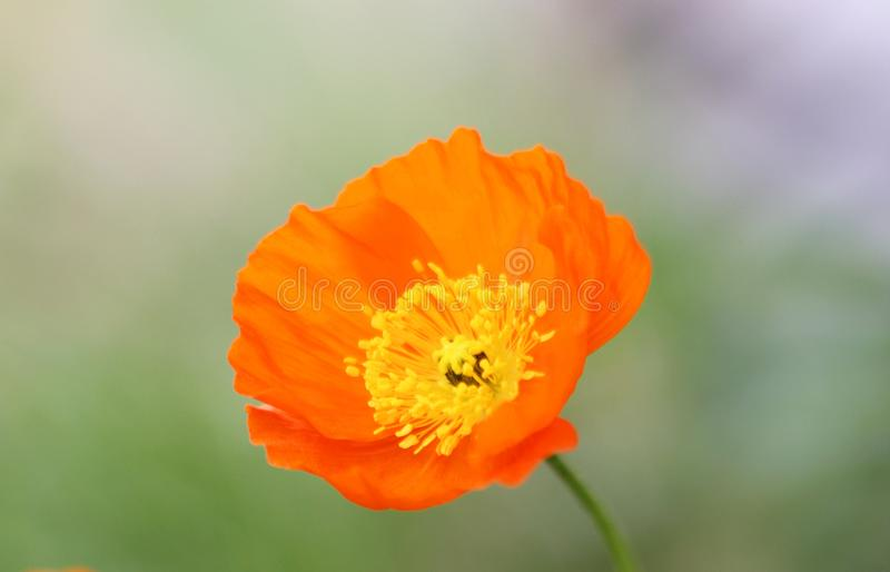 Orange poppy macro stock images