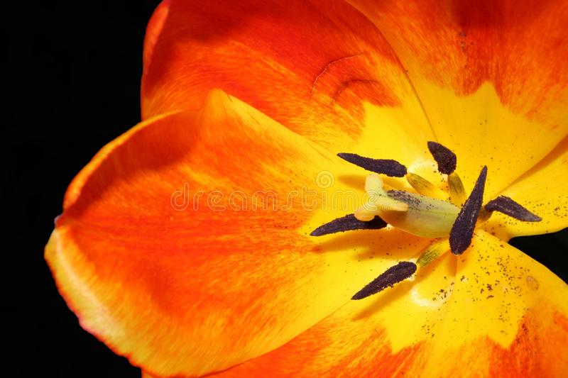 Close up orange and yellow tulip with stamen and pistol. Macro photo of an orange and yellow tulip showing the stamen, pistol and some pollen. The flower is royalty free stock photo