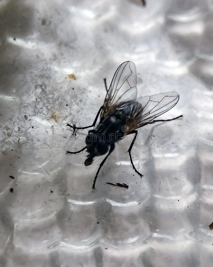 Macro photo of pale giant horse-fly isolated on white background stock photography