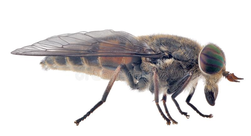 Pale giant horse-fly isolated on white background royalty free stock photos