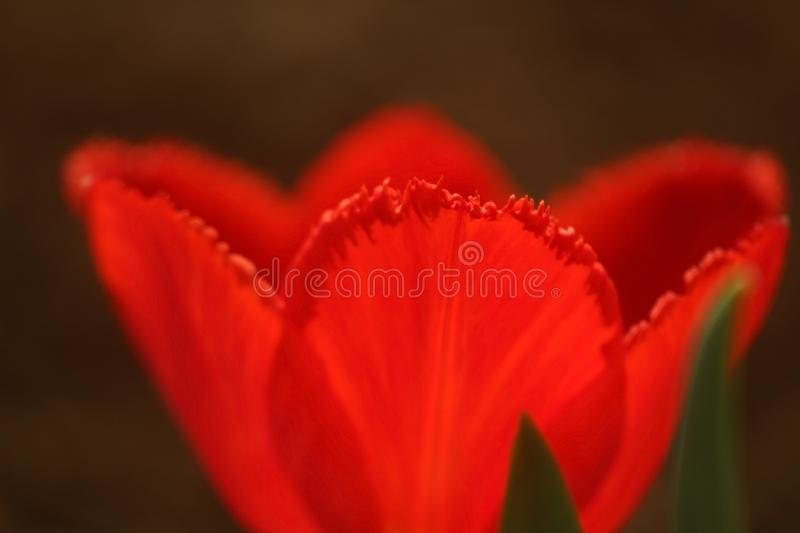 Macro photo of petals of a bud of a red tulip on the edge with a fringe stock photos