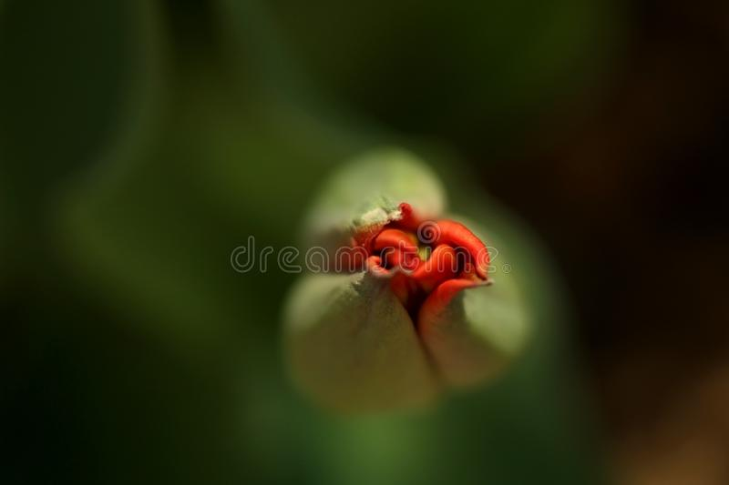 Macro photo of petals of a closed green bud with a red heart of a tulip royalty free stock image