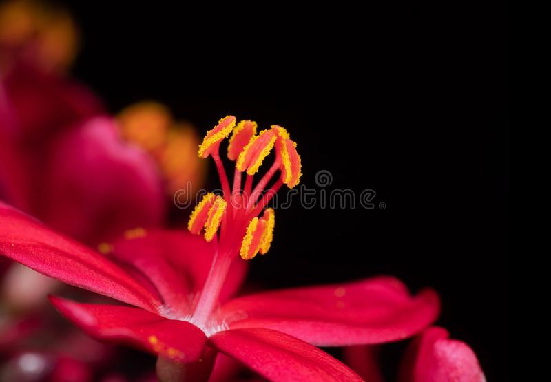 Macro Photo of Pink Flower with Yellow Pollen Isolated on Black Background, Selective Focus. Macro Photography of Pink Flower with Yellow Pollen Isolated on royalty free stock photos