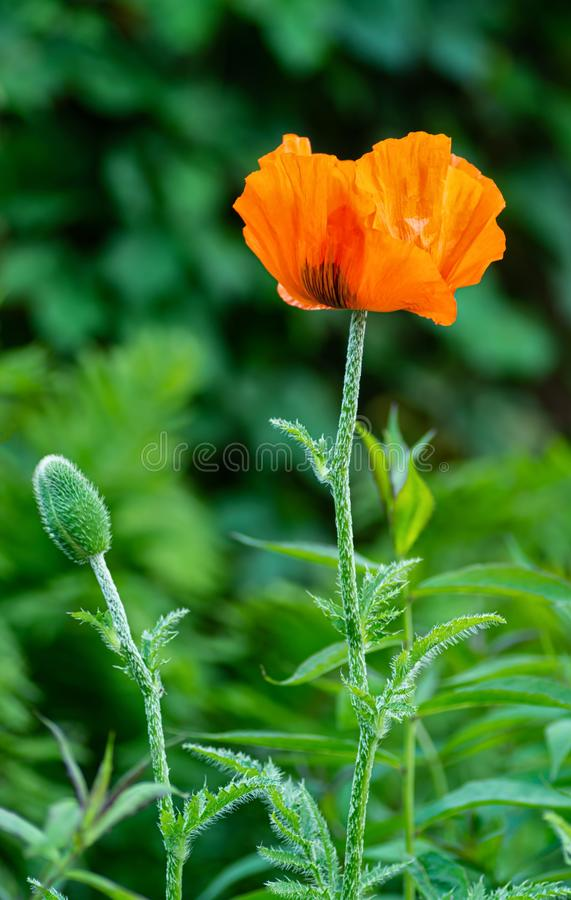 Macro photo of a poppy flower. Background texture of red poppies flower royalty free stock image