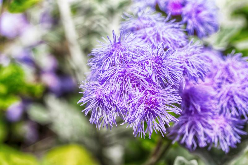 Macro photo of a purple flower ageratum. In the grass close-up with small details royalty free stock photo