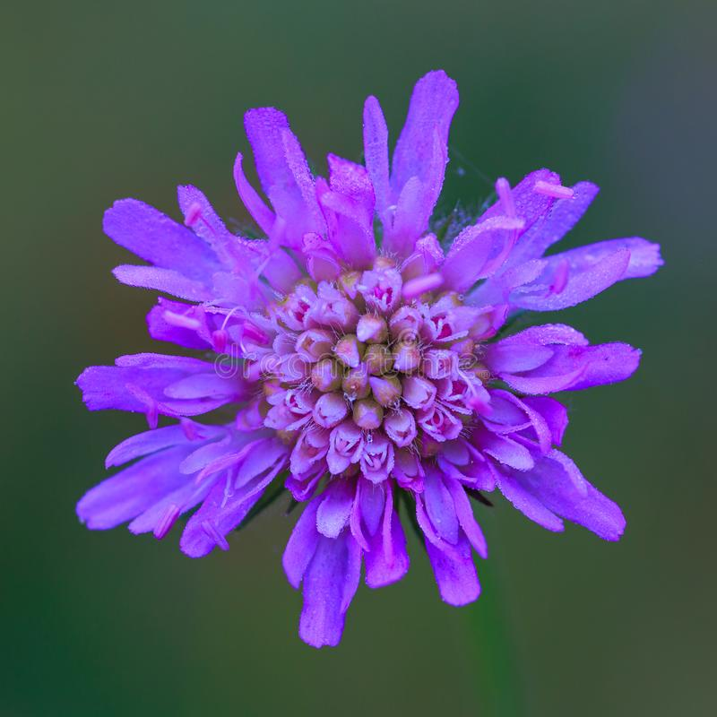 Macro photo of a purple flower. With dew drops. View from above. The background is blurred stock photos