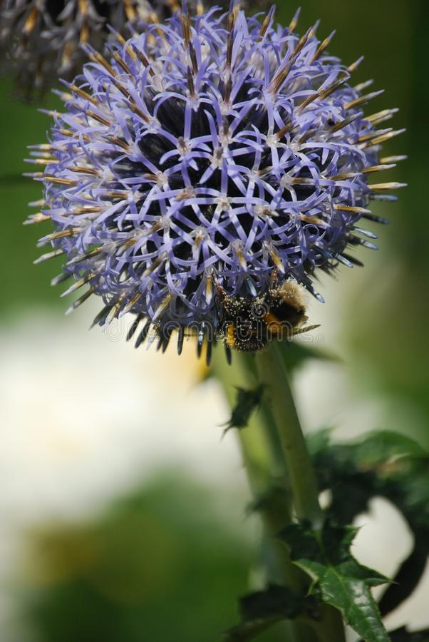 Macro Photo Of Purple Round Cluster Flower In Bloom With Honeybee Underneath Free Public Domain Cc0 Image